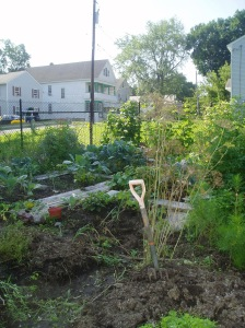 A somewhat overrun community garden plot, with a pitchfork stuck in the ground and dill going to seed in the foreground.